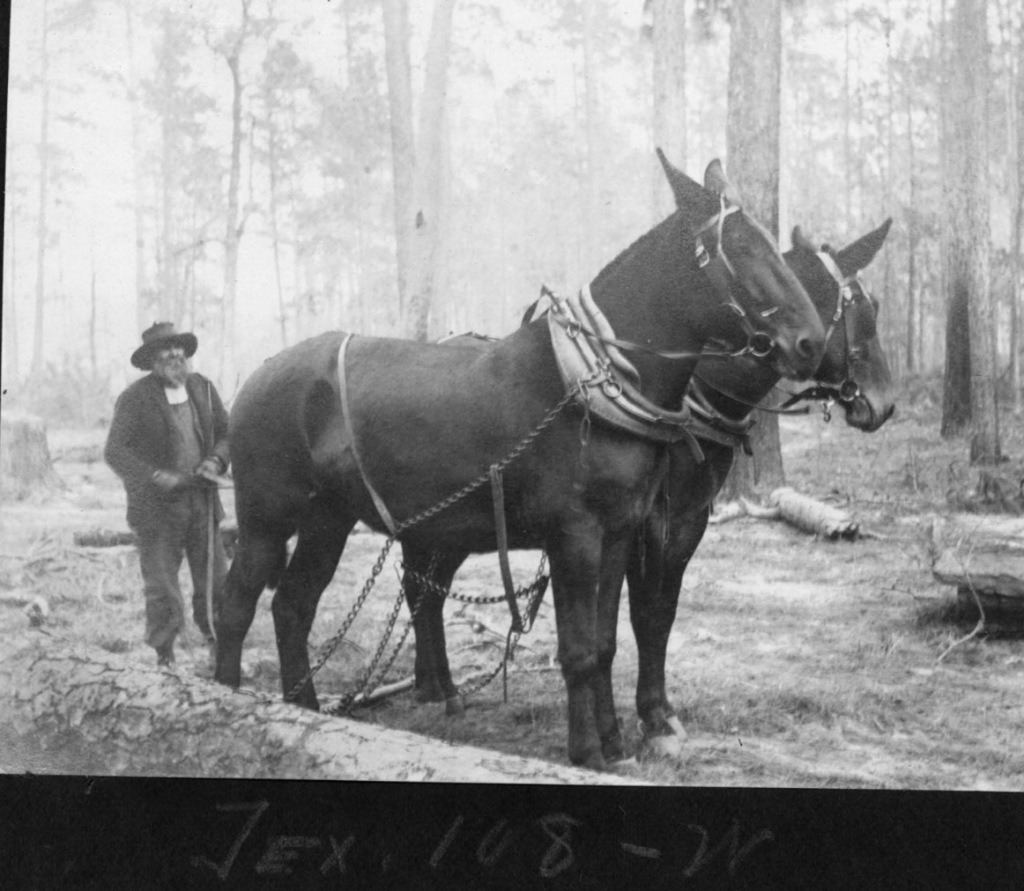 vintage photo of logger with two mule team